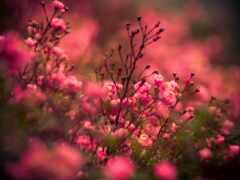 цветы, роза, взлёт