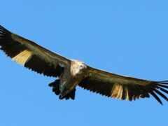 орлан, клюв, крыло