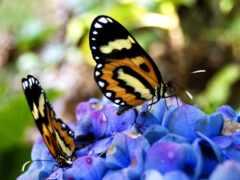 красивый, бабочка, farfalla