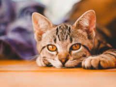 кот, domestic, порода