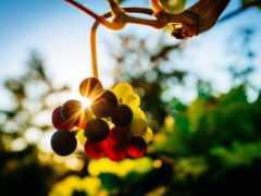 виноград, sun, makryi
