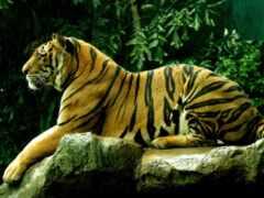 animal, тигр