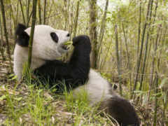 панда, бамбук, панды