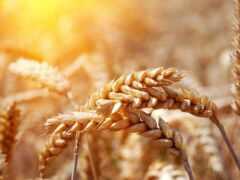 пшеницы, колосья, поле