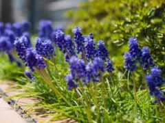 мускари, cvety, синие