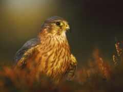 птица, хищный, prey