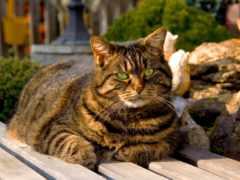 кот, густой, striped