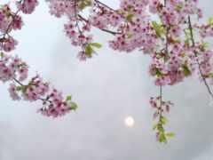 Сакура, cvety, природа