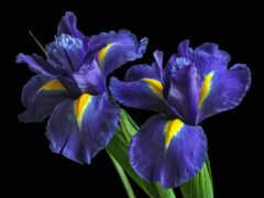 цветы, iris, purple