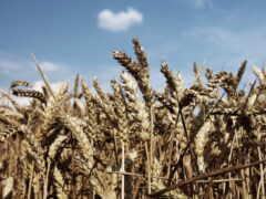 пшеница, priroda, dorogoi