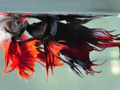 fish, petushki, репродукция