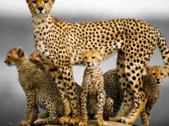 гепард, лапа, след