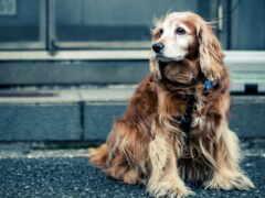 взгляд, собака Фон № 26478 разрешение 1680x1050