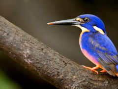 птица, клюв, kingfisher