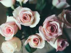 розы, красивые, розовые