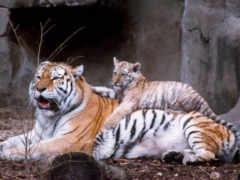 тигр, детёныш, zhivotnye