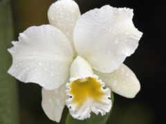 орхидея, белая, орхидеи