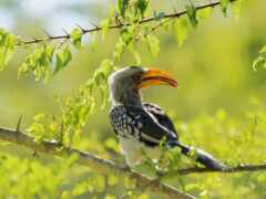 hornbill, птица, гора