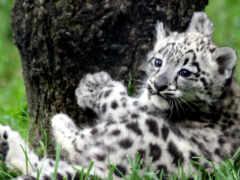 снег, леопард, снежного