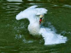 лебедь, воде, лебеди