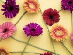цветы, гербера, картинка