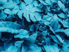 роза, blue, leaf