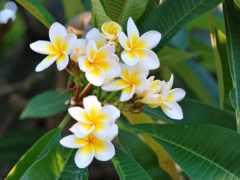 плюмерия, цветы, белый