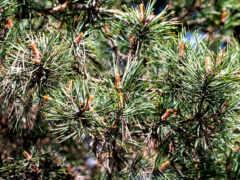 pohon, daun, cemara