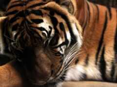 тигр, tiere, favim