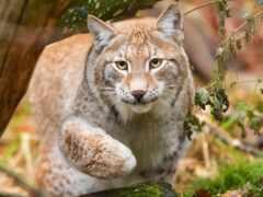 bobcat, рысь, минут