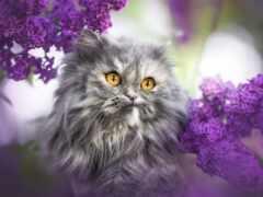 кот, persian, глаз