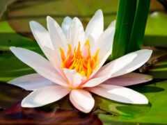 белая, кувшинка, растение