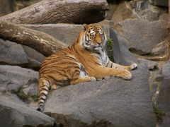 уссурийский, animals, тигр