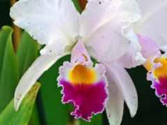 орхидеи, орхидея, liveinternet