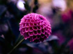 dahlia, цветы, планом