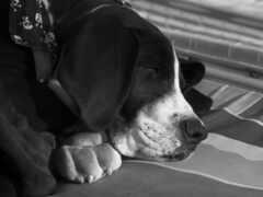 собака, морда, black