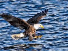орлан, море, птица