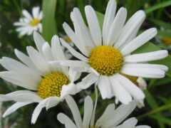 daisy, цветы, herb