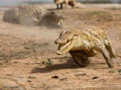 крокодила, аллигатор