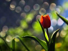 pictures, flower, tulip