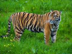 тигр, lion, полоса