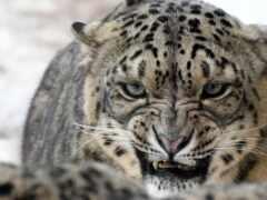 леопард, снег, против