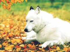 волк, oir, собака