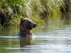 медведь, water, купаются