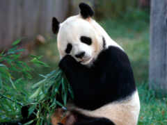 панда, animal, медведь