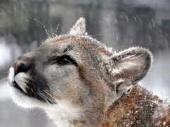 puma, cougar, гора