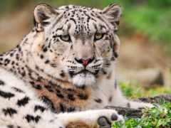 леопард, снег, хмурый
