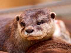 otter, water, выдры