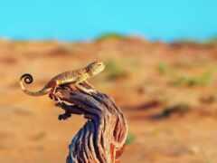 пустыня, ящер, onlainyascherica