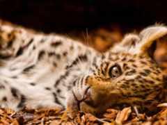 jaguar, small, смотрит
